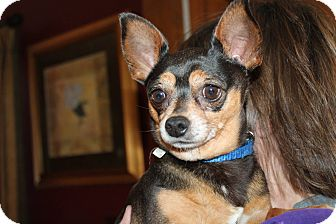 Chihuahua Mix Dog for adoption in Naperville, Illinois - Coco
