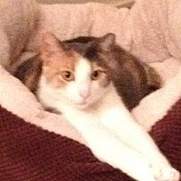 Calico Cat for adoption in Madisonville, Louisiana - Cali