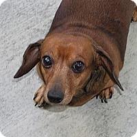 Adopt A Pet :: KOKO - Forest Ranch, CA