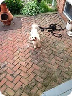 Poodle (Miniature) Mix Dog for adoption in Baltimore, Maryland - Simon (COURTESY POST)