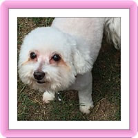 Bichon Frise Dog for adoption in Tulsa, Oklahoma - Adopted!!Boo and Annie - TX