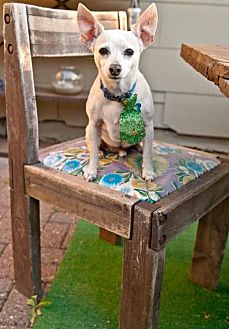 Chihuahua Mix Dog for adoption in Portland, Oregon - Jerry