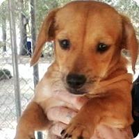 Adopt A Pet :: Goldie - Pompton Lakes, NJ