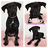 Adopt A Pet :: Miley - Toledo, OH