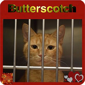 Domestic Shorthair Cat for adoption in Washington, Pennsylvania - Butterscotch