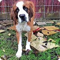 Adopt A Pet :: Spice - McKinney, TX