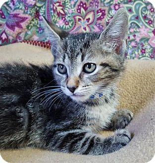 Domestic Shorthair Kitten for adoption in Prattville, Alabama - Mojo 25788