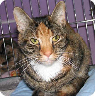 Domestic Shorthair Cat for adoption in New Kensington, Pennsylvania - Halle