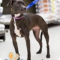 Labrador Retriever/Hound (Unknown Type) Mix Dog for adoption in Newport, Kentucky - Abhaya