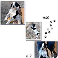 Adopt A Pet :: Heeler puppy - Nixa, MO