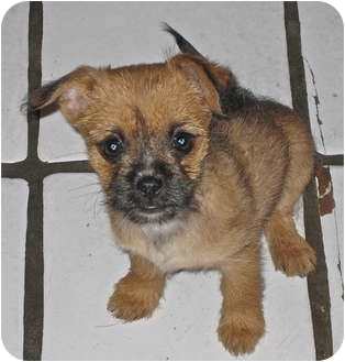 Gracie   Adopted Puppy   Jasmin   Encino, CA   Brussels ... Brussels Griffon And Pug Mix