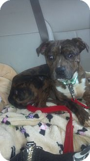 Australian Shepherd/Boxer Mix Dog for adoption in Hazard, Kentucky - Tiny Tommy