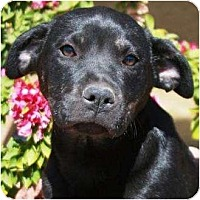 Adopt A Pet :: Cricket - Gilbert, AZ