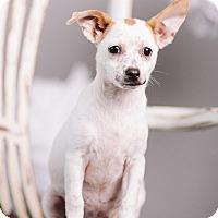 Adopt A Pet :: Horchata - Portland, OR