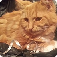 Maine Coon Cat for adoption in Harrisburg, North Carolina - Whitney