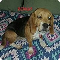 Adopt A Pet :: BINGO - Ventnor City, NJ