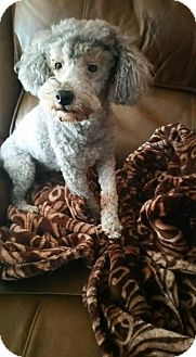 Poodle (Miniature) Mix Dog for adoption in Fairmont, West Virginia - Fraulein