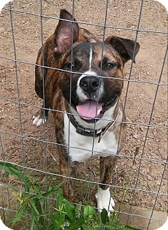 Shepherd (Unknown Type) Mix Dog for adoption in Simpsonville, South Carolina - Zeus-Referral
