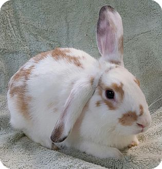 Lop-Eared Mix for adoption in Montclair, California - Caramel