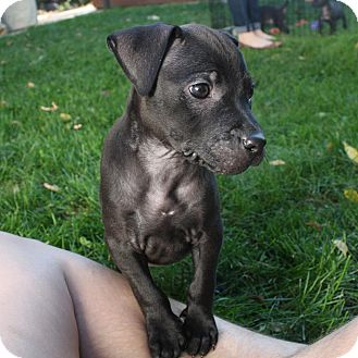 Labrador Retriever/Pit Bull Terrier Mix Puppy for adoption in Fort Collins, Colorado - Maron (FORT COLLINS)