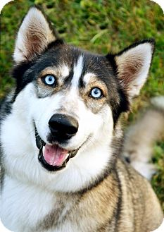 Siberian Husky/Husky Mix Dog for adoption in Roswell, Georgia - Ziva