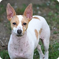 Adopt A Pet :: Esther - Southington, CT