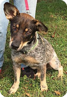 Australian Cattle Dog Mix Dog for adoption in Texico, Illinois - Jack