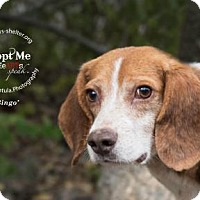 Adopt A Pet :: Bingo - New Milford, CT