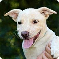Adopt A Pet :: PUPPY LUKE - Andover, CT