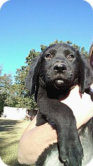 Rottweiler/Labrador Retriever Mix Puppy for adoption in Ellaville, Georgia - Zoey (adoption pending)