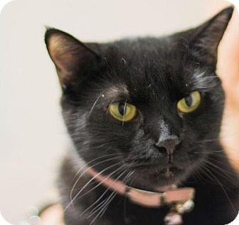 Domestic Mediumhair Cat for adoption in Waterford, Virginia - PEARL