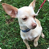 Chihuahua Mix Puppy for adoption in Cat Spring, Texas - Darla
