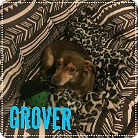 Adopt A Pet :: GROVER 4 YR CHIHUAHUA MALE - Mesa, AZ