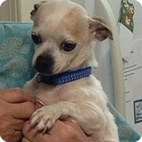 Adopt A Pet :: Tiny Gizmo - Fairfax Station, VA
