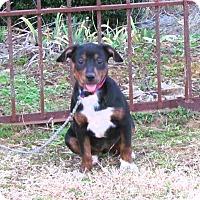 Adopt A Pet :: JAZZ - Bedminster, NJ