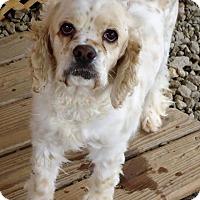 Adopt A Pet :: Missey - Spartanburg, SC