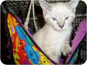 Himalayan Kitten for adoption in Little Rock, Arkansas - Siam