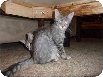 Domestic Mediumhair Kitten for adoption in Davis, California - Cindy