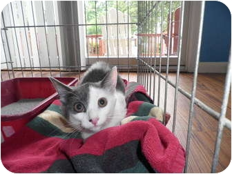 Domestic Shorthair Cat for adoption in Warren, Michigan - Trina