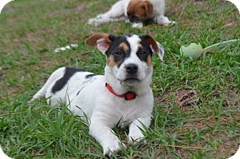 Corgi/Hound (Unknown Type) Mix Puppy for adoption in Weeki Wachee, Florida - Daisy