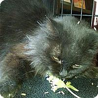 Adopt A Pet :: Meowza - Sterling Hgts, MI