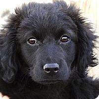 Adopt A Pet :: *Indy - PENDING - Westport, CT