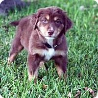 Adopt A Pet :: Suede - Austin, TX
