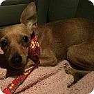 Adopt A Pet :: Claire 7lbs chiweenie