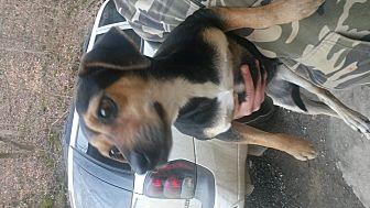 Miniature Pinscher/Beagle Mix Dog for adoption in Prestonsburg, Kentucky - koko