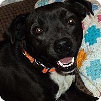 Adopt A Pet :: Trace - Union, WV