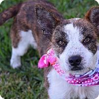 Adopt A Pet :: Suzy-ADOPTION PENDING - Boulder, CO