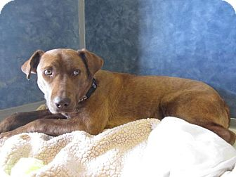 Labrador Retriever/Pit Bull Terrier Mix Dog for adoption in Ridgway, Colorado - Missy