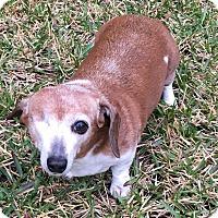 Adopt A Pet :: Aggie - Houston, TX