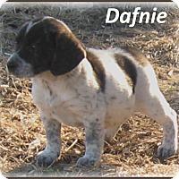 Adopt A Pet :: Dafnie - Marlborough, MA